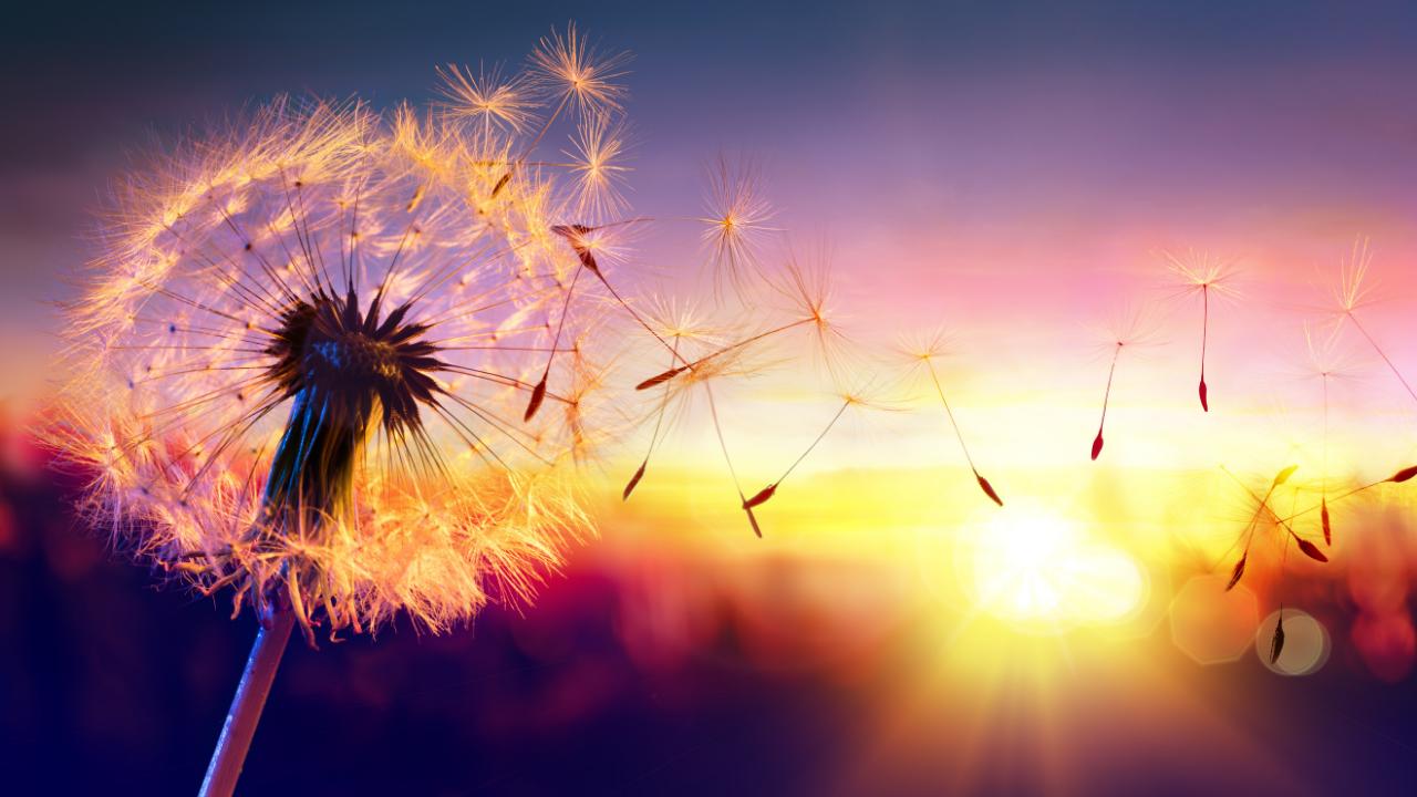 Make a wish on a dandelion