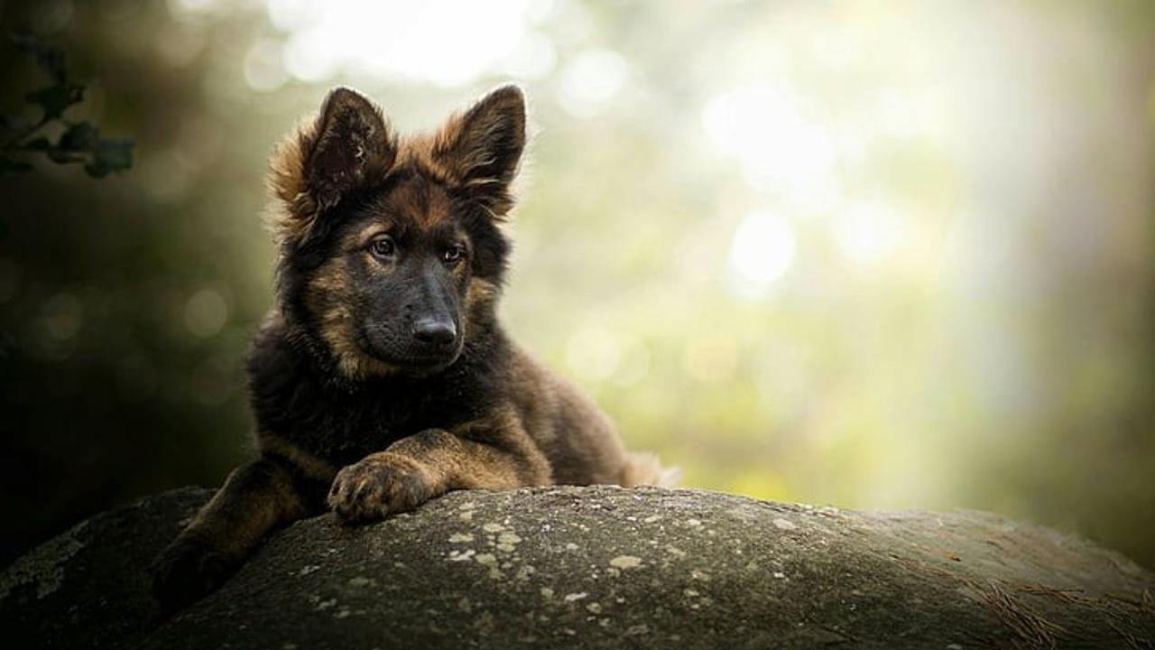 Cfdxcsdtrwu9ymq1inqy dog dog breed german shepherd old german shepherd wallpaper preview