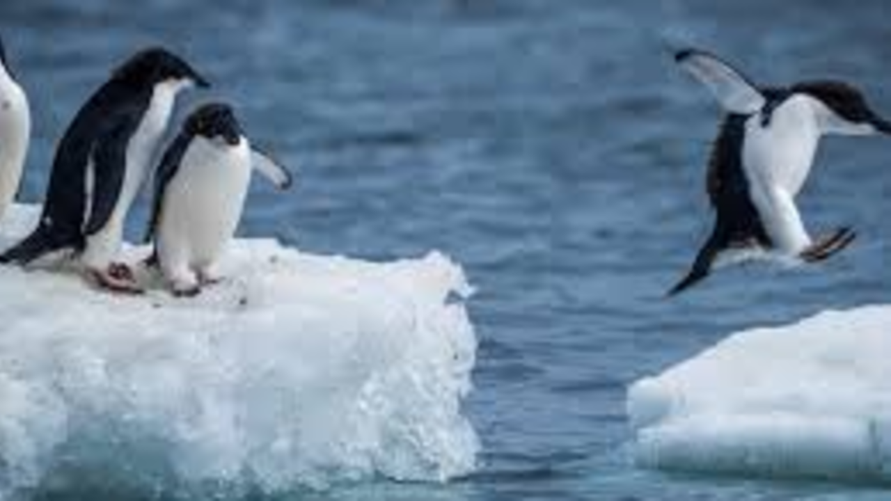 Nisuroq8t8wgebeq5h8y pingouin leader 3