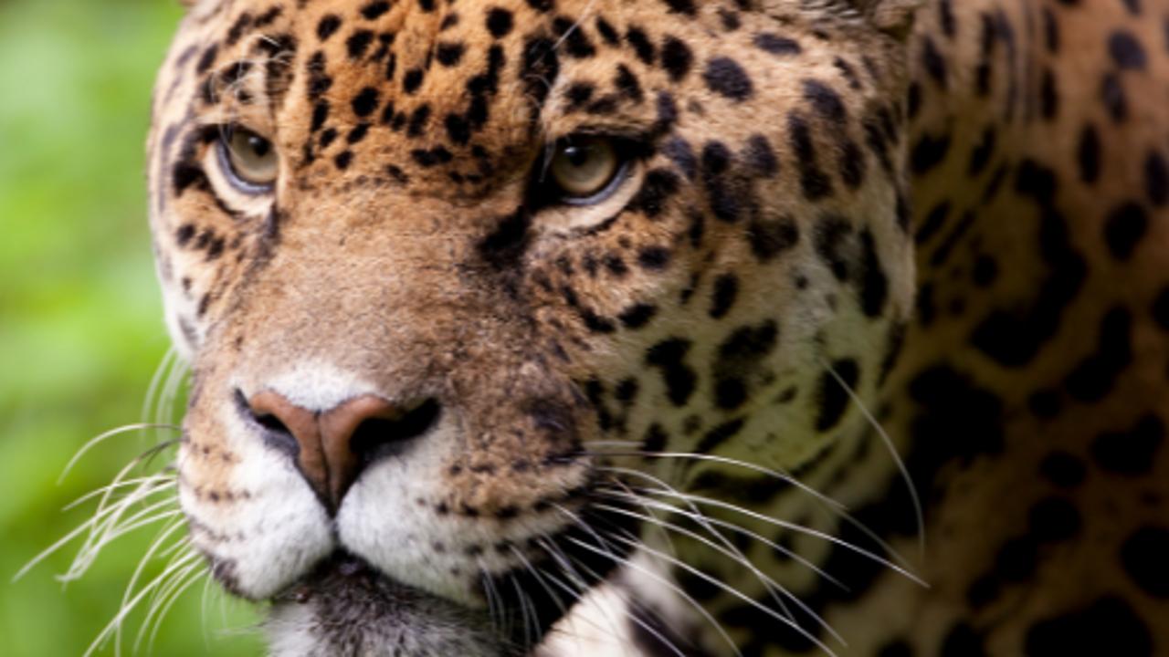 Ys14sugws1g9irqvwvyg jaguar