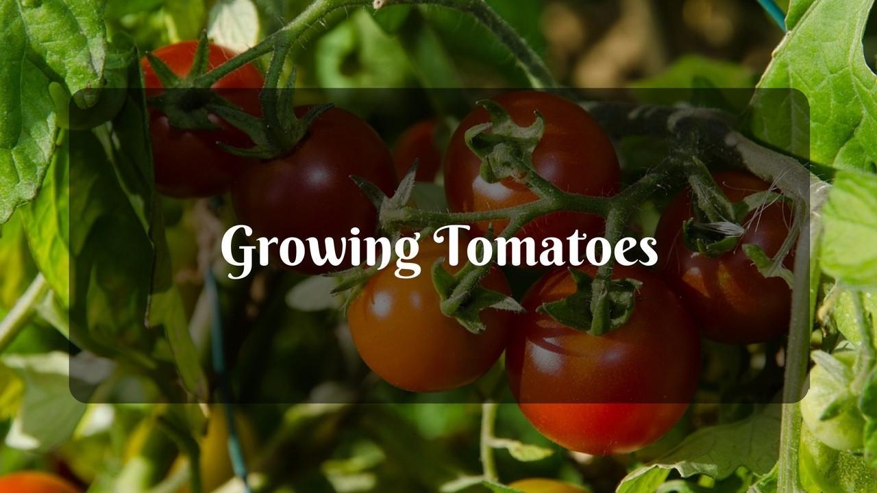 Z8khp3fdttgmtkl3lgwg choosing a tomato varietydeterminate vs indeterminate 1