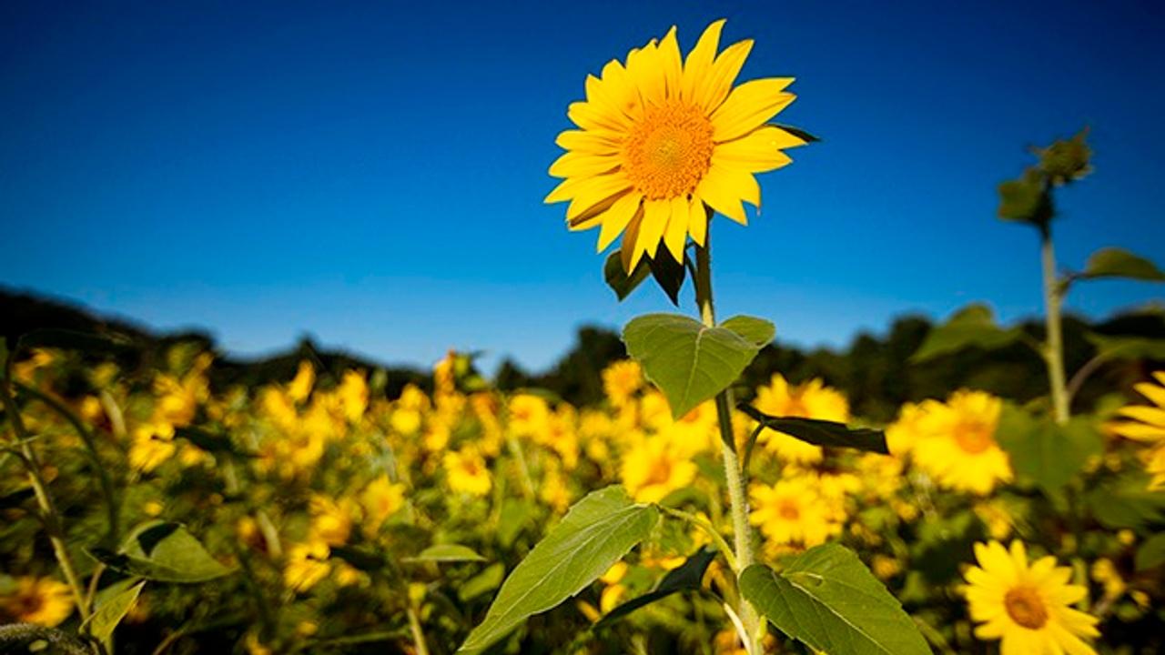 Vmsbscobrpw6oyd9trzi sunflower