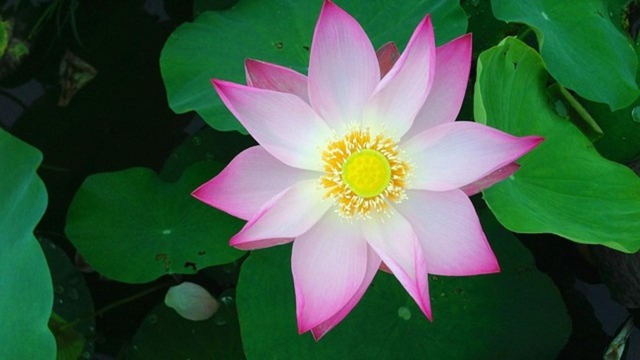 Rbu6aqxirkipqlm6bgsl lotus 2137259 640