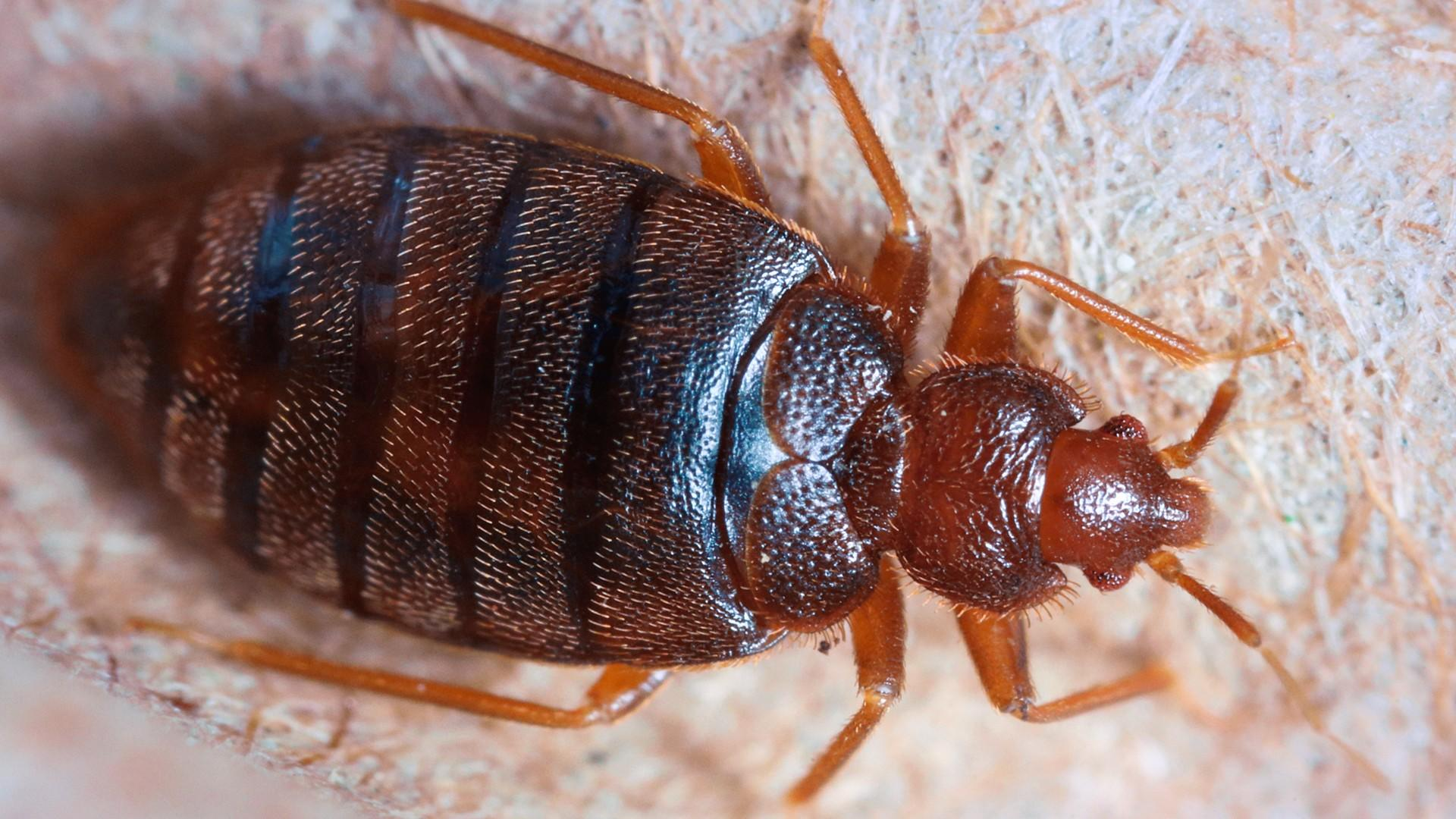 Closeup photo of an adult bed bug