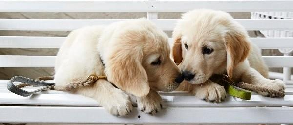 two golden retriever puppies on a bench, nose to nose