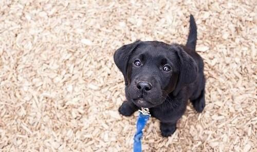 black lab puppy sitting and looking up at the camera