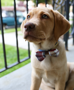 Red lab puppy sitting on a porch with a bowtie on