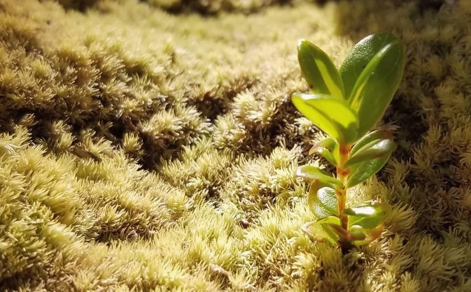 Small seedling (of an ʻōhiʻa) sprouting out in a bed of moss.