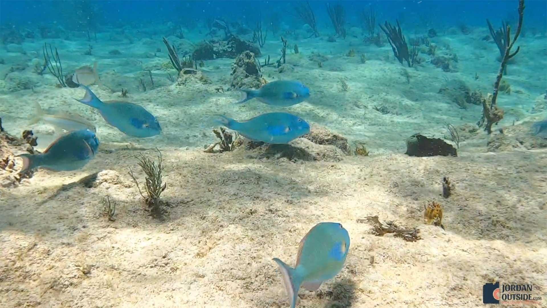 Parrot Fish at Cane Bay, St. Croix