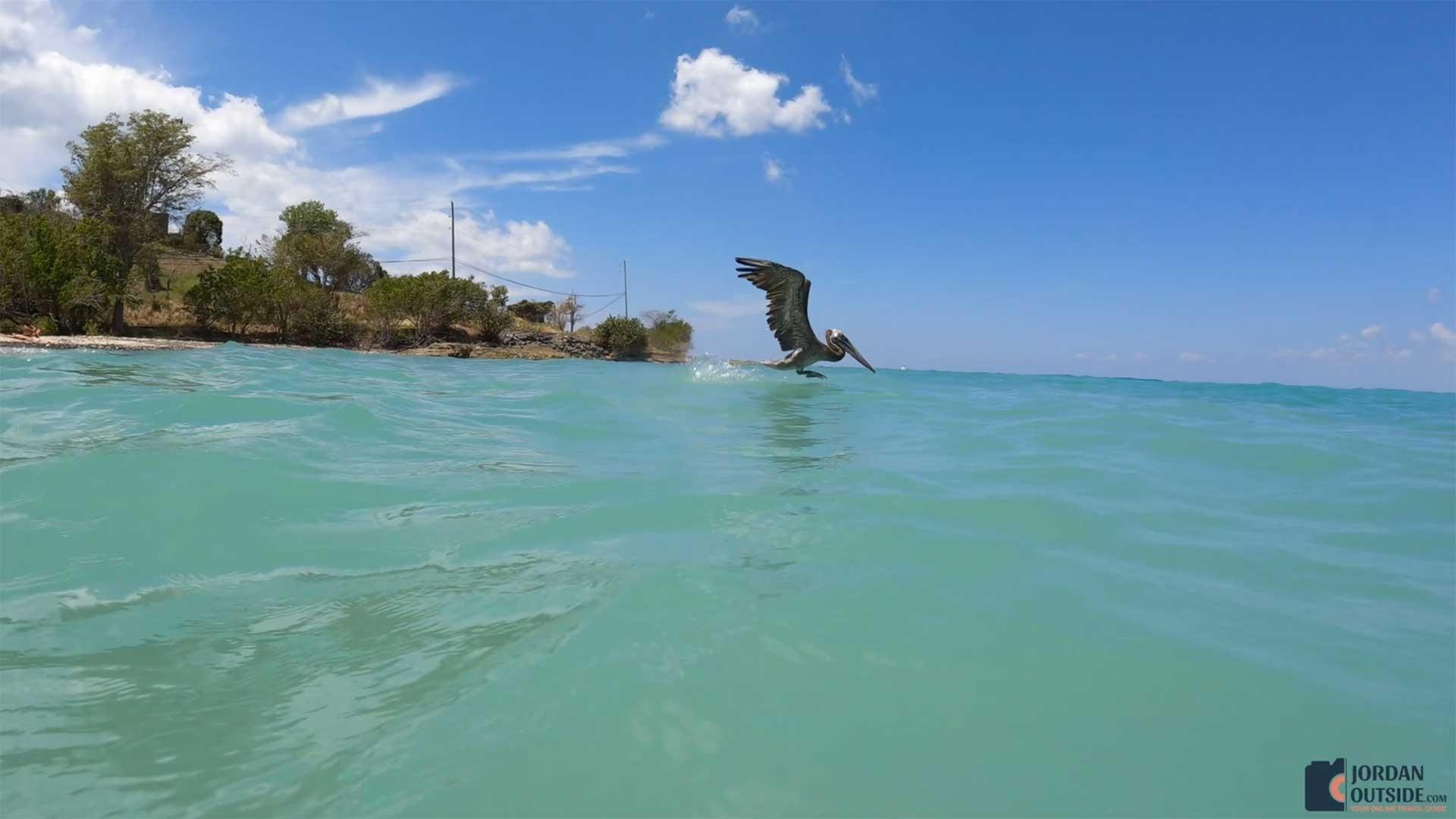 Pelican at Butler Bay Beach
