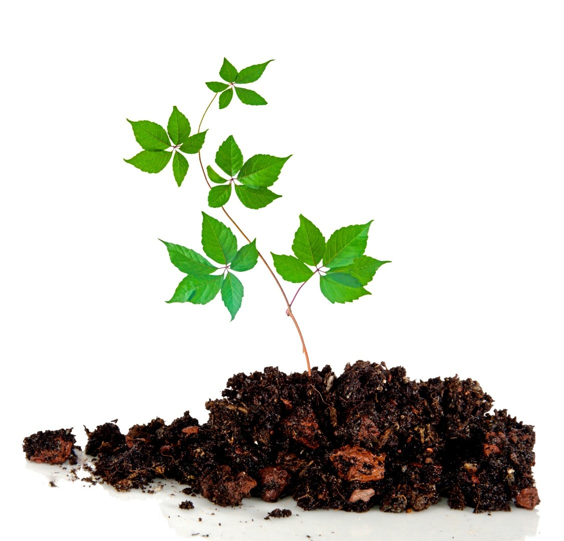 a plant in dirt on a white background