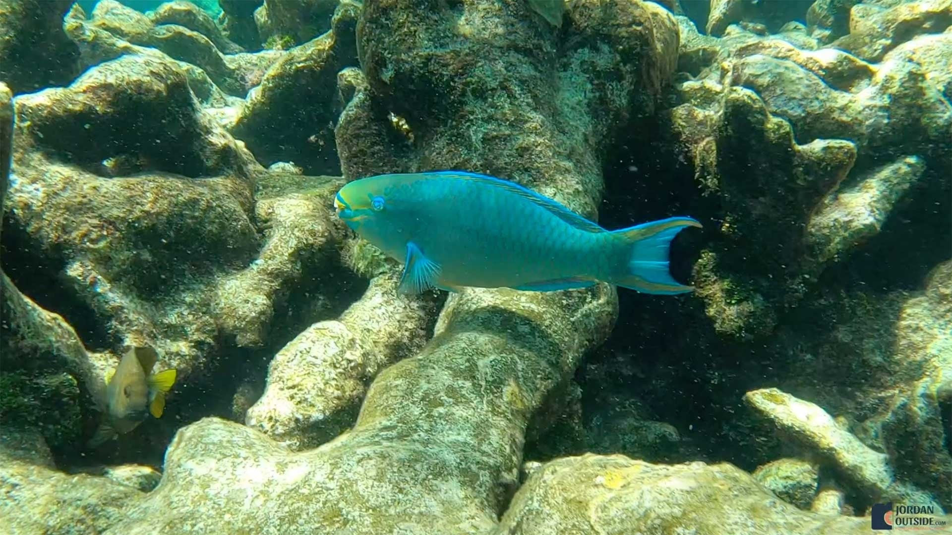 Parrot Fish at Buck Island, St. Croix