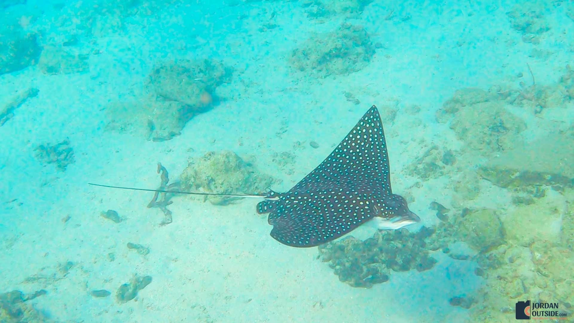 Spotted Eagle Ray at the Frederiksted Pier in St. Croix