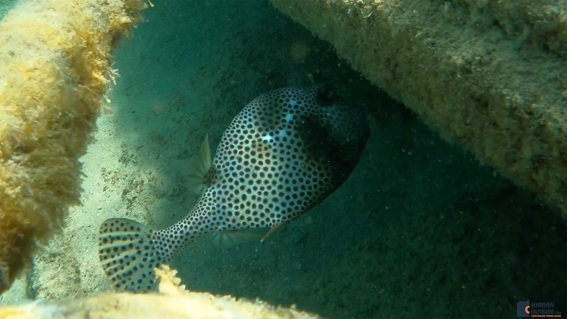 Puffer Fish at the Frederiksted Pier in St. Croix