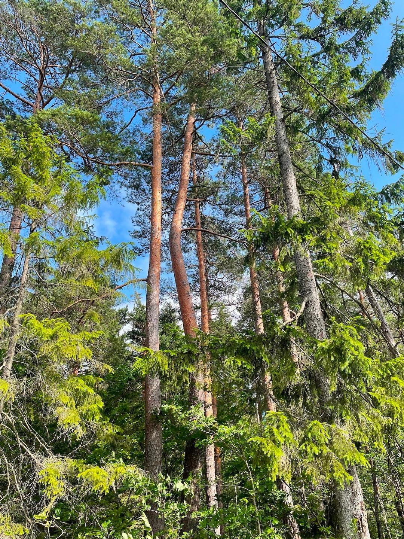 Et tre som vokser i sving blant andre rette trær