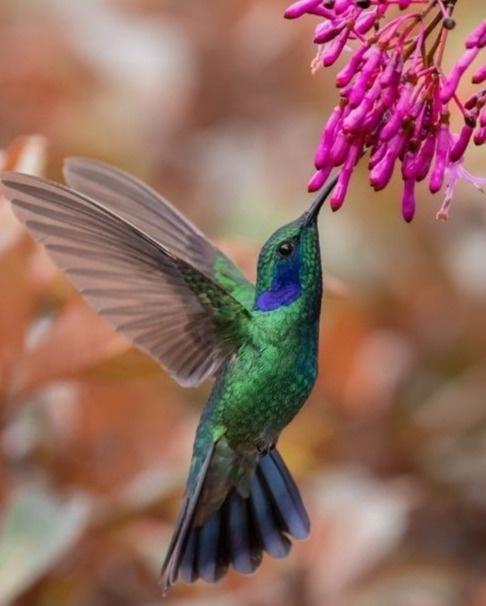 Visit the hummingbird gardens in Costa Rica