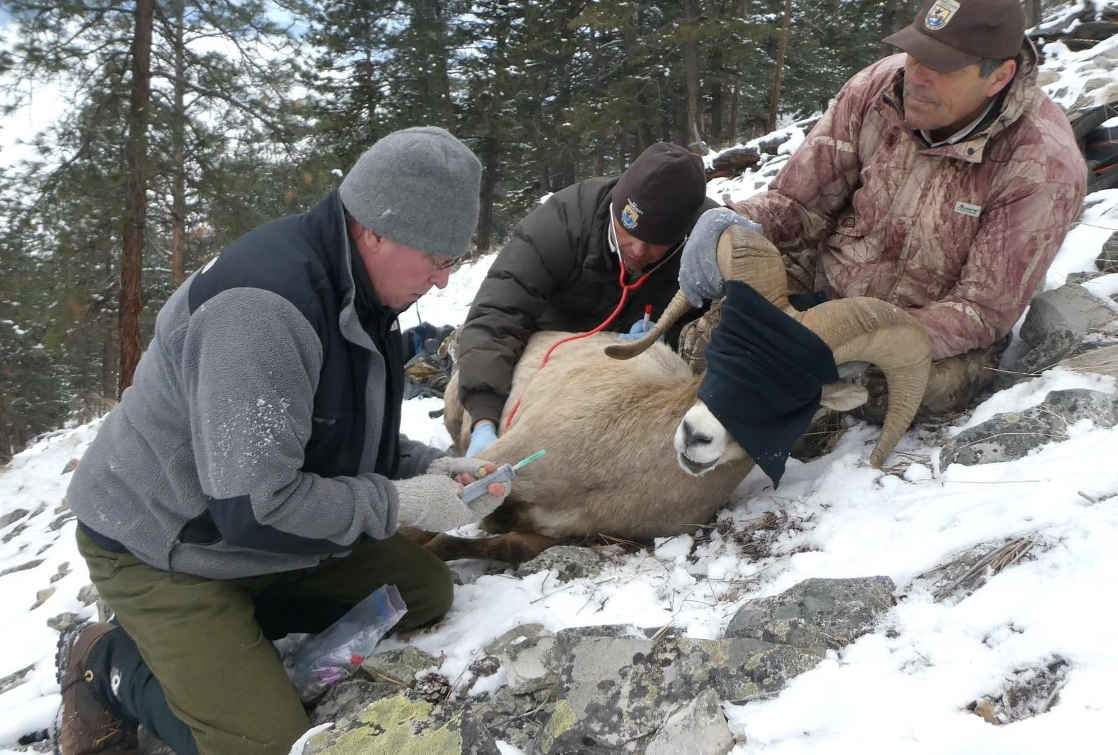 Dr. Mark collecting blood from a bighorn ram.