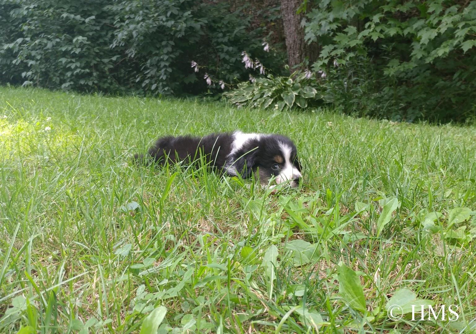 Puppy in Grass © HMS