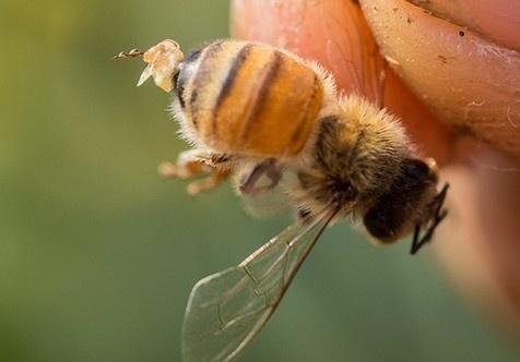 worker bee stinger with venom drop
