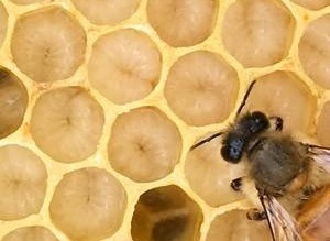 worker bee and larvae