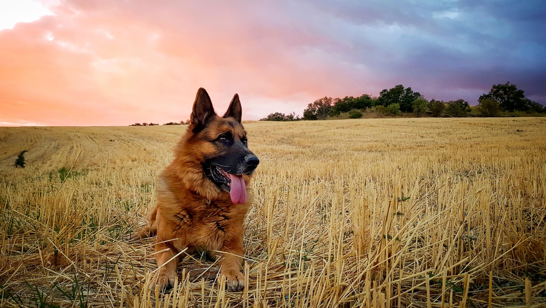 german shepherd dog in field with sunset