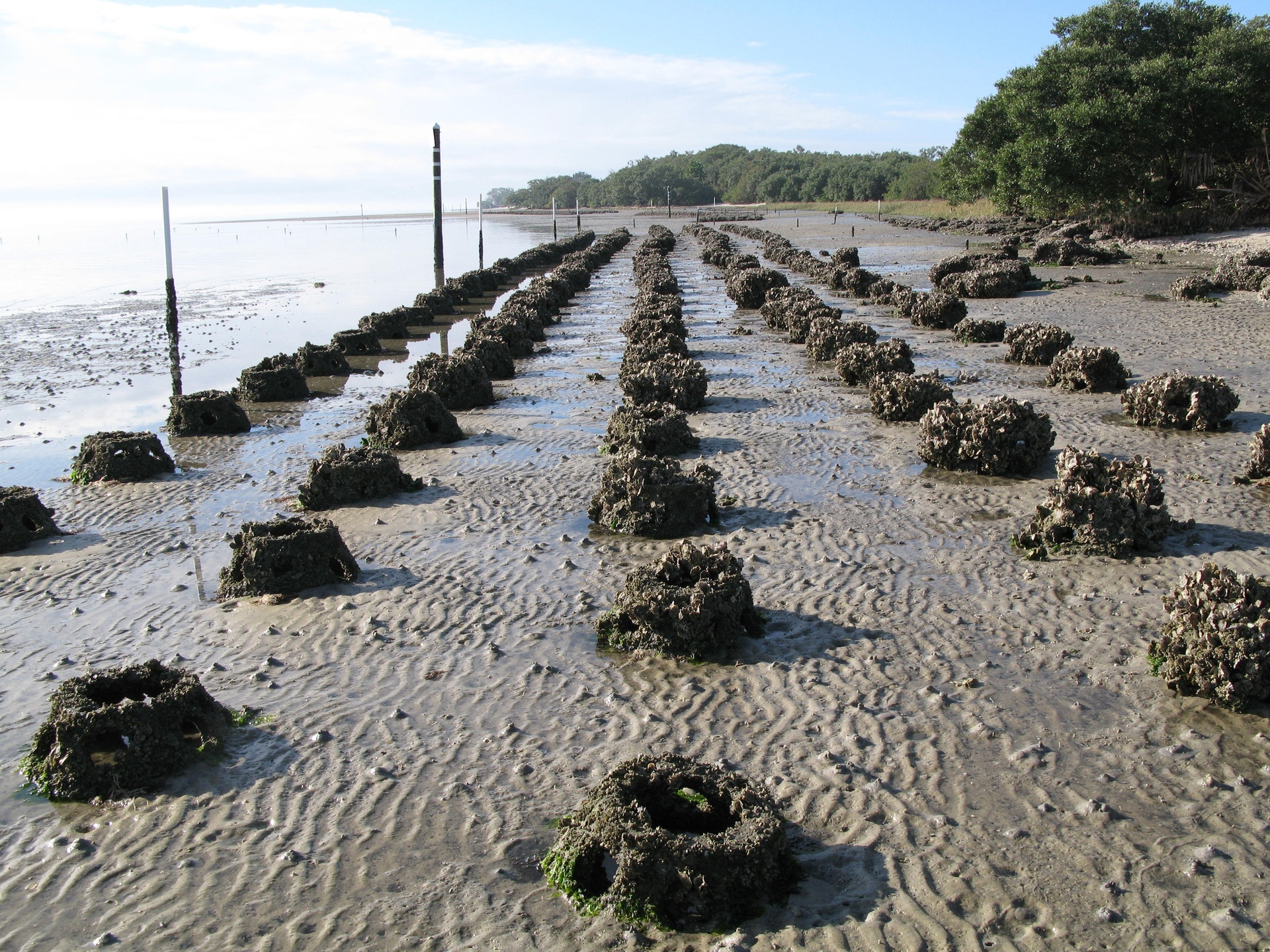 Oyster reef habitat restoration work in Tampa Bay, Florida