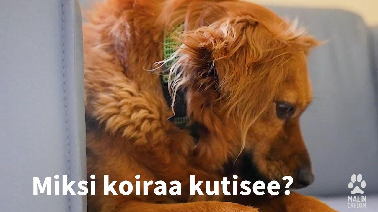 koiran kutina