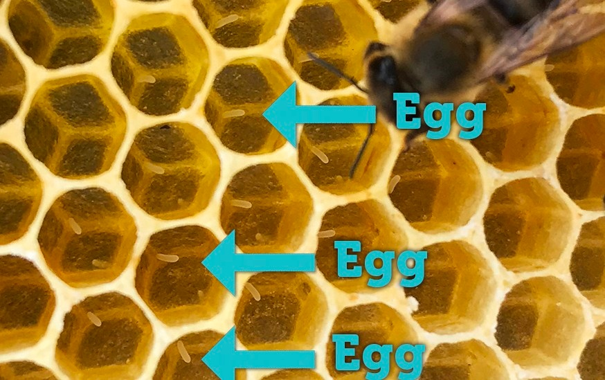 arrow pointing to bee eggs