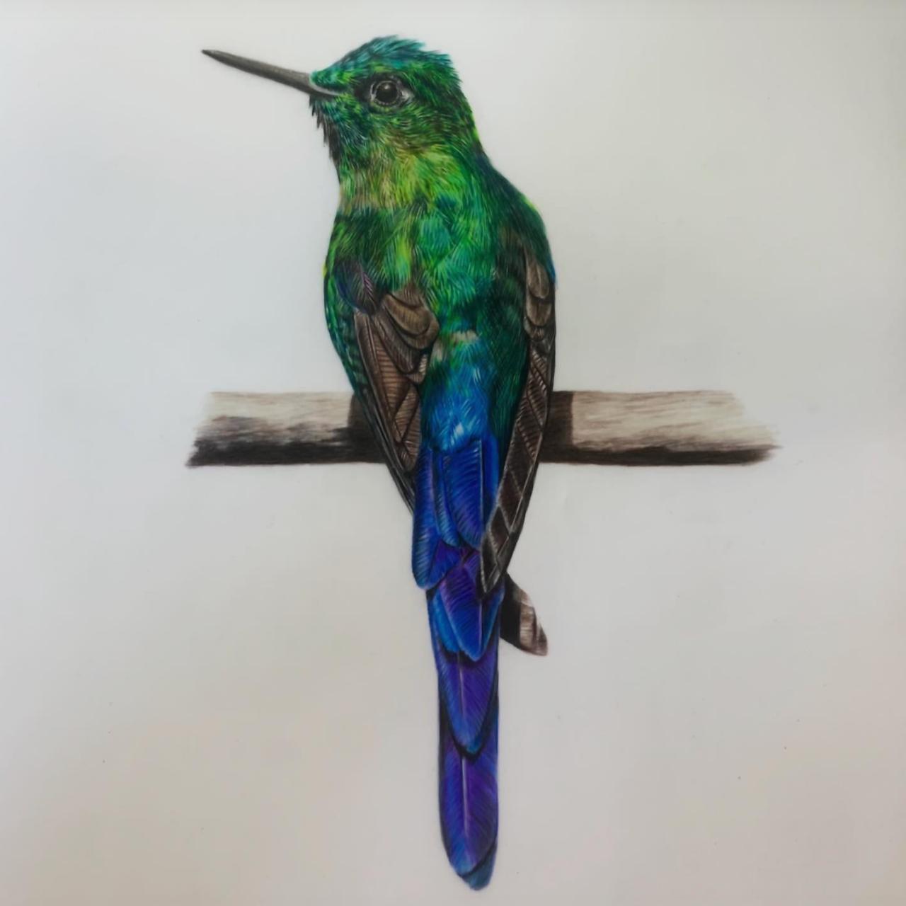 Hummingbird - Coloured Pencil Drawing - Bonny Snowdon Fine Art