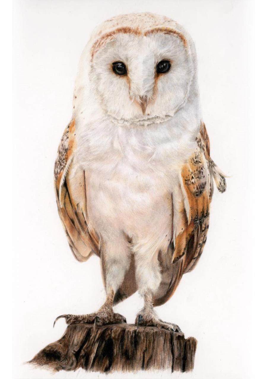 Barn Owl - Coloured Pencil Drawing - Bonny Snowdon Fine Art