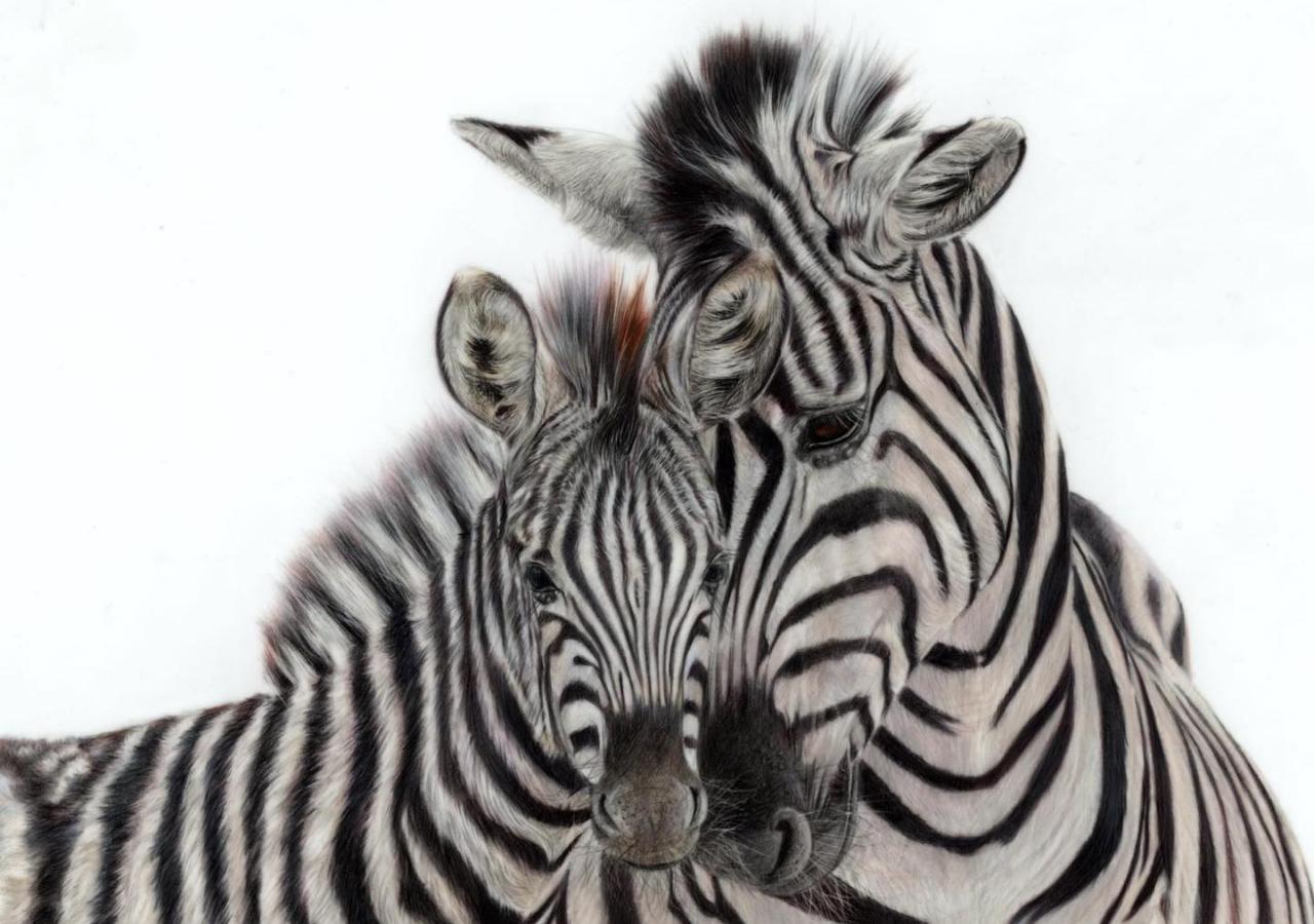 Zebra - Coloured Pencil Drawing - Bonny Snowdon Fine Art