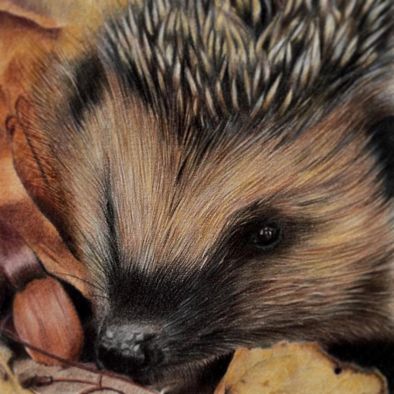 Hedgehog - Coloured Pencil Drawing - Bonny Snowdon Fine Art