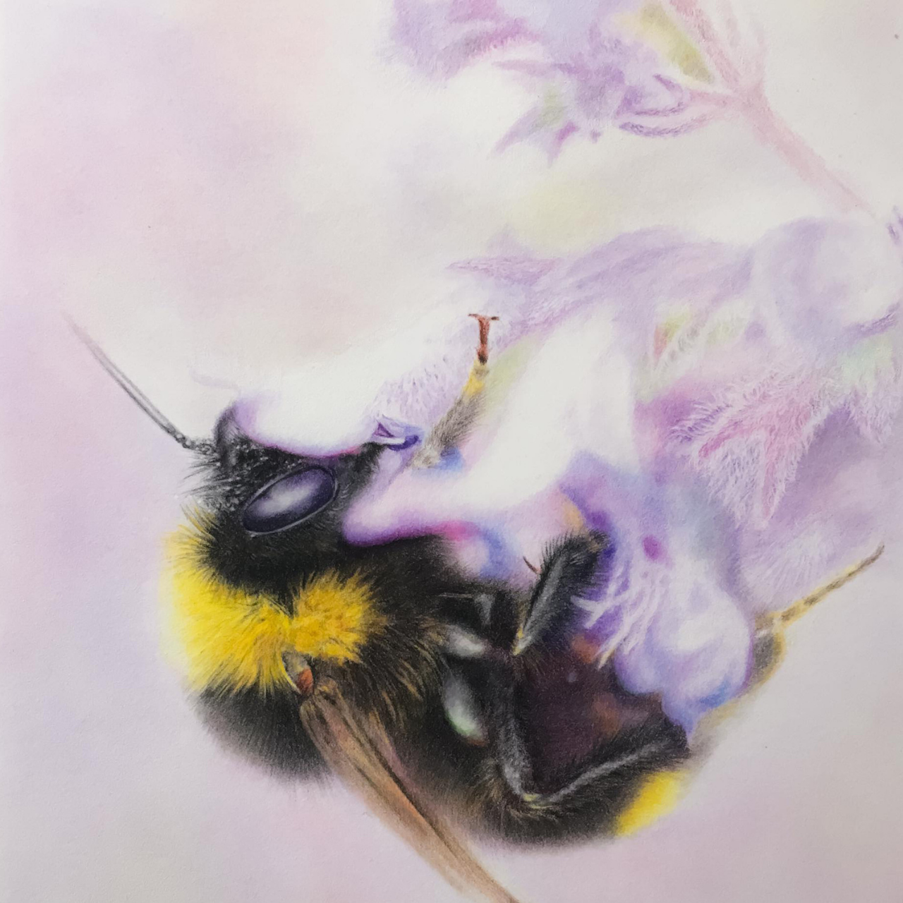 Bumblebee - Coloured Pencil Drawing - Bonny Snowdon Fine Art