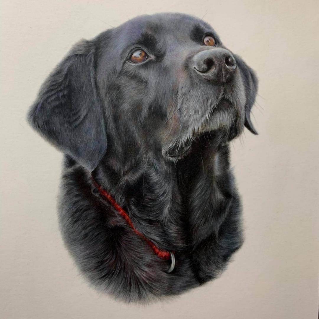 Black Labrador Portrait - Commissions - Bonny Snowdon Fine Art