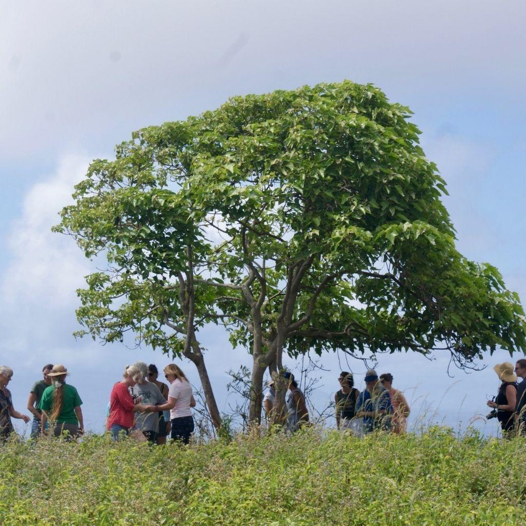 Kukui Nut Tree at Ulu Kukui ʻO Lanikaula