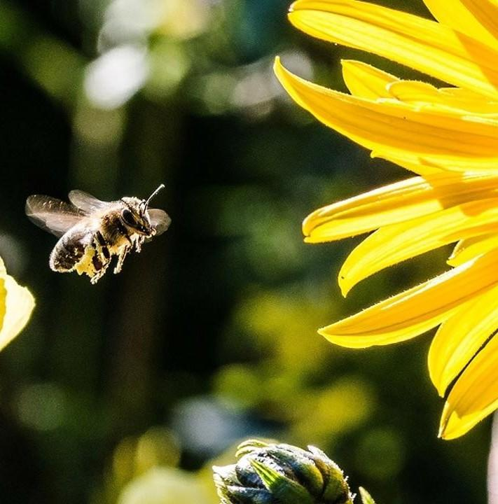 worker bee and sunflower