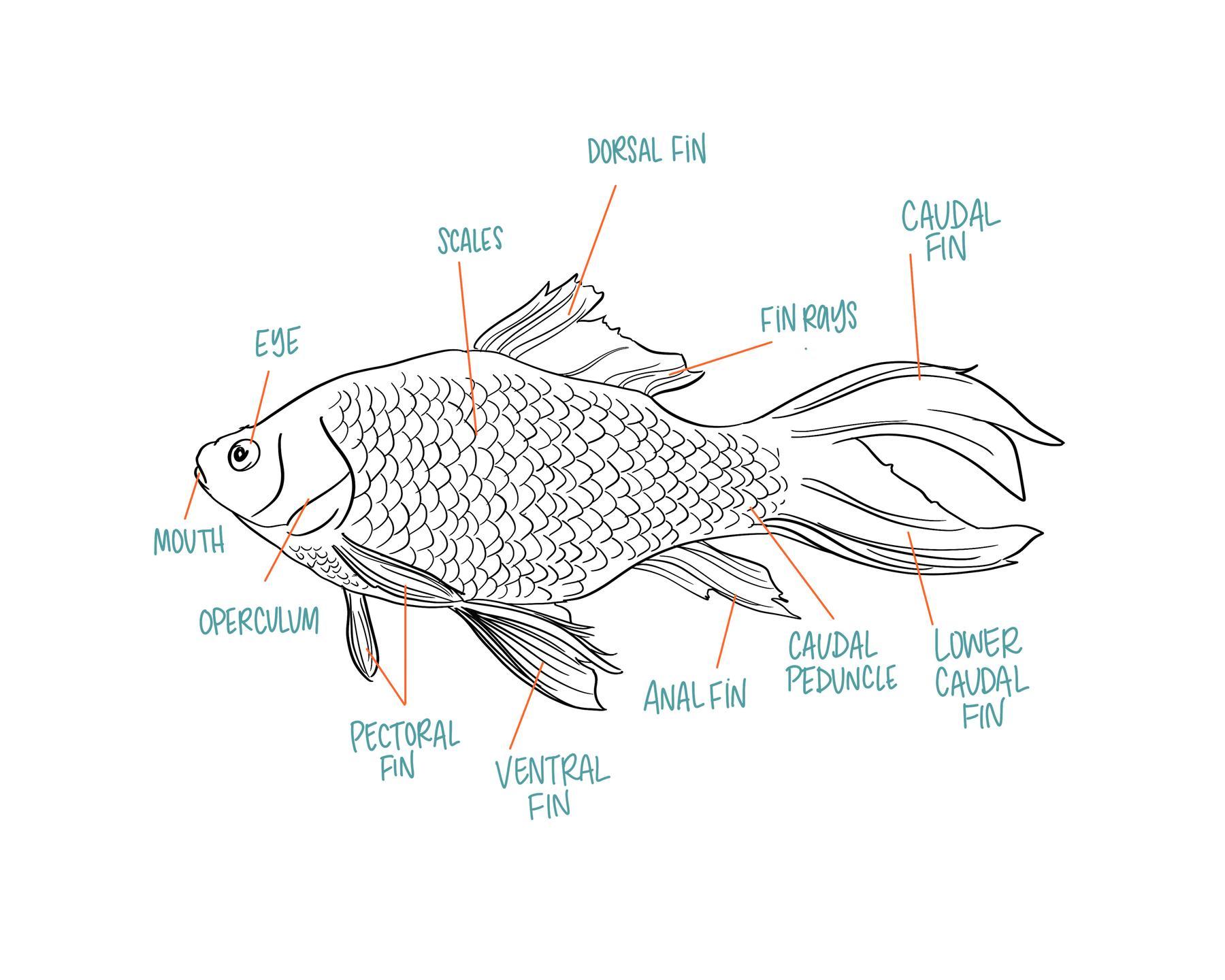 fish anatomy art