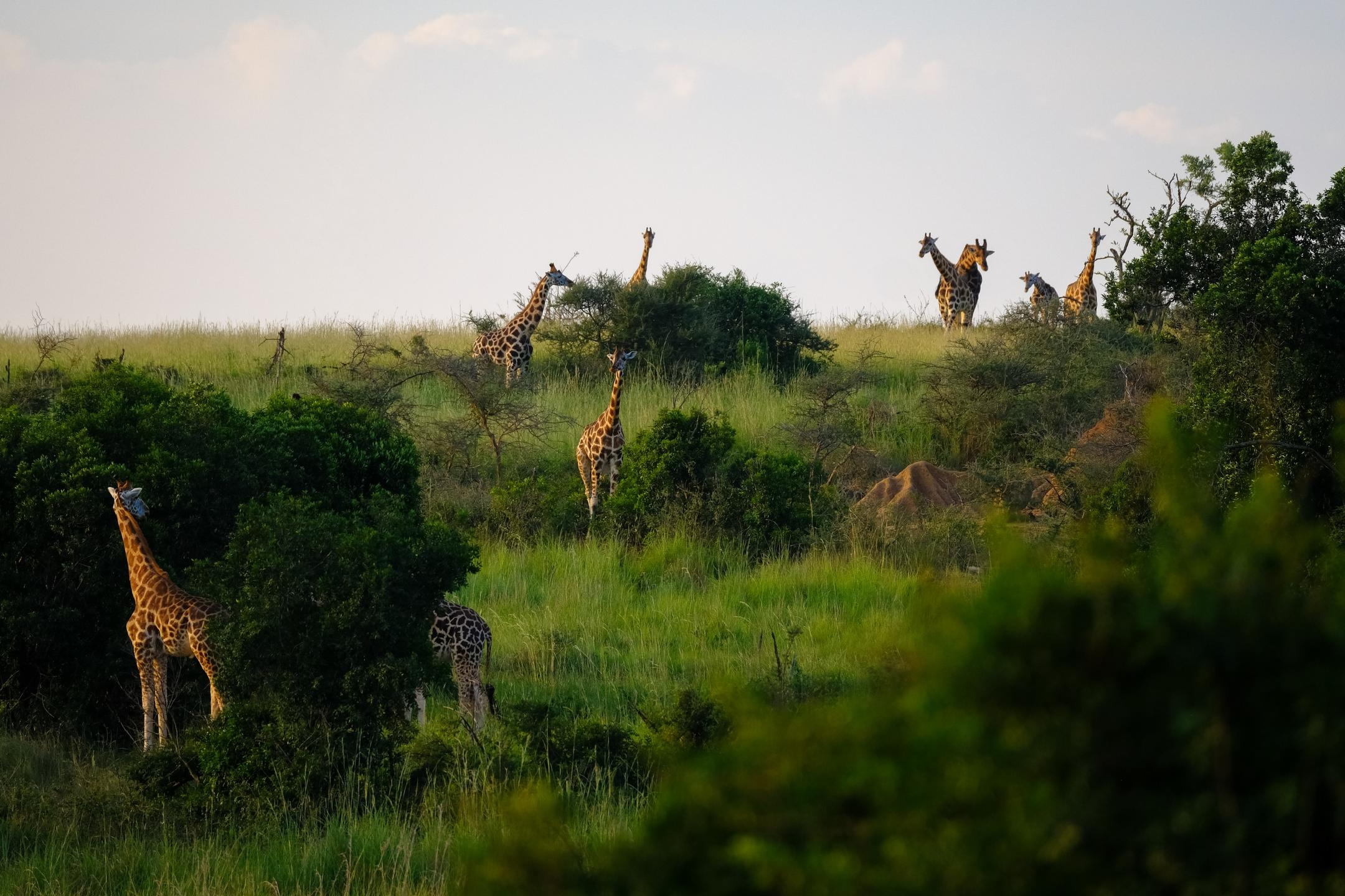 Lots of giraffes with trees