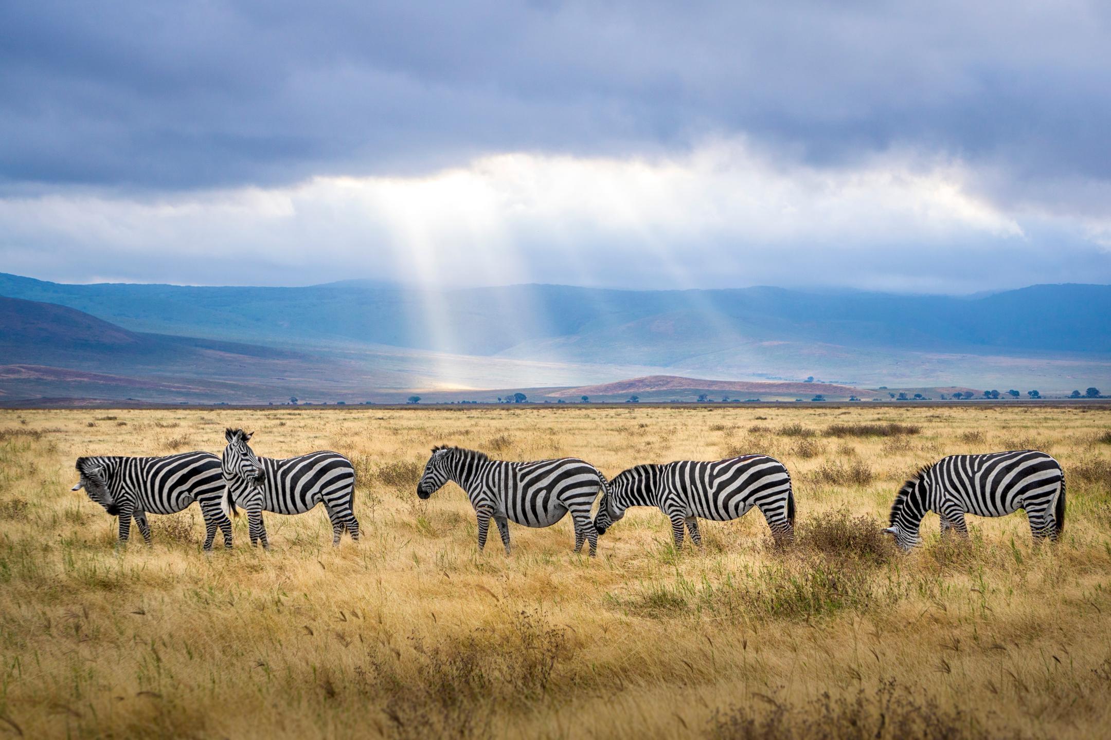 Zebra in savannah grass