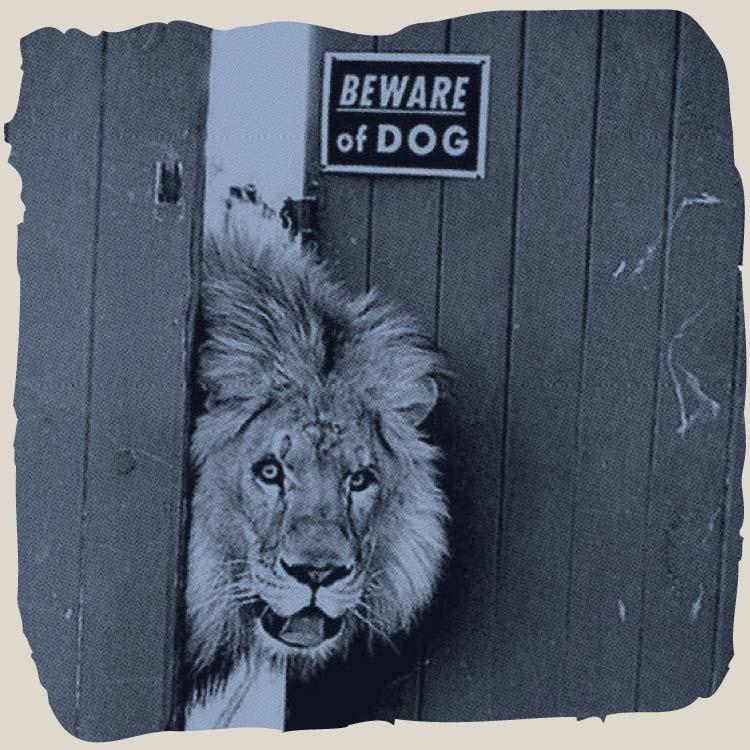 Lion poking its head through a fence