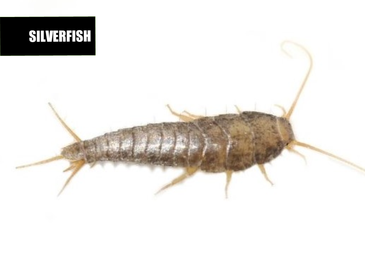 How to get rid of silverfish | Ace Pest Protection