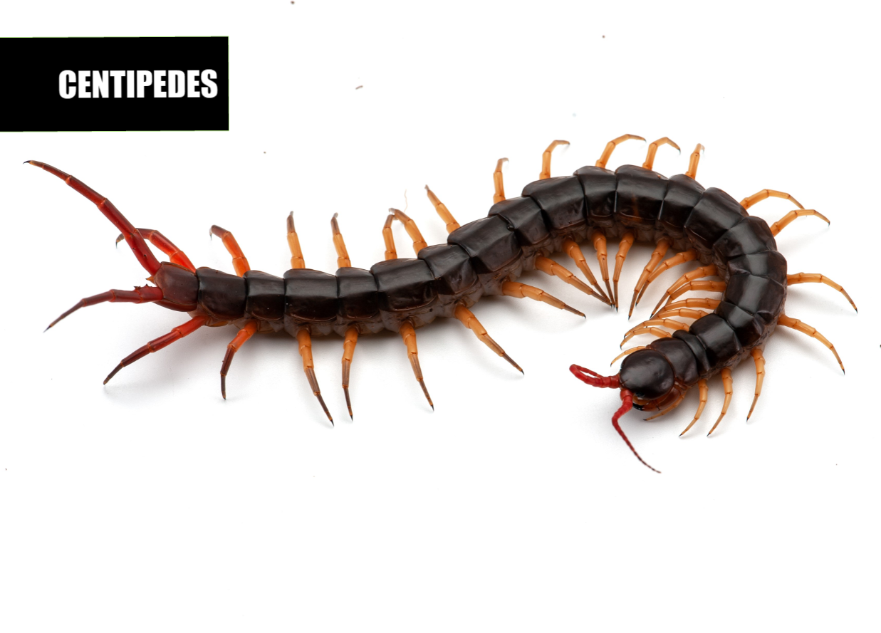 How to get rid of centipedes | Ace Pest Protection