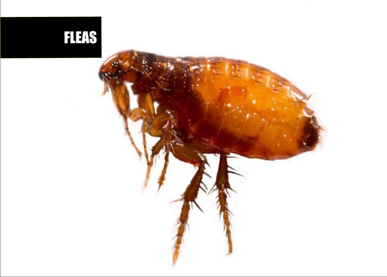 How to get rid of fleas | Ace Pest Protection