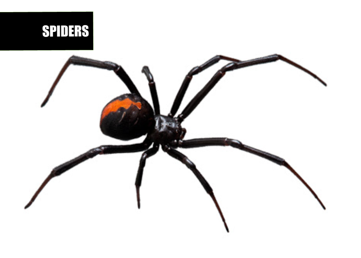 How to get rid of spiders | Ace Pest Protection