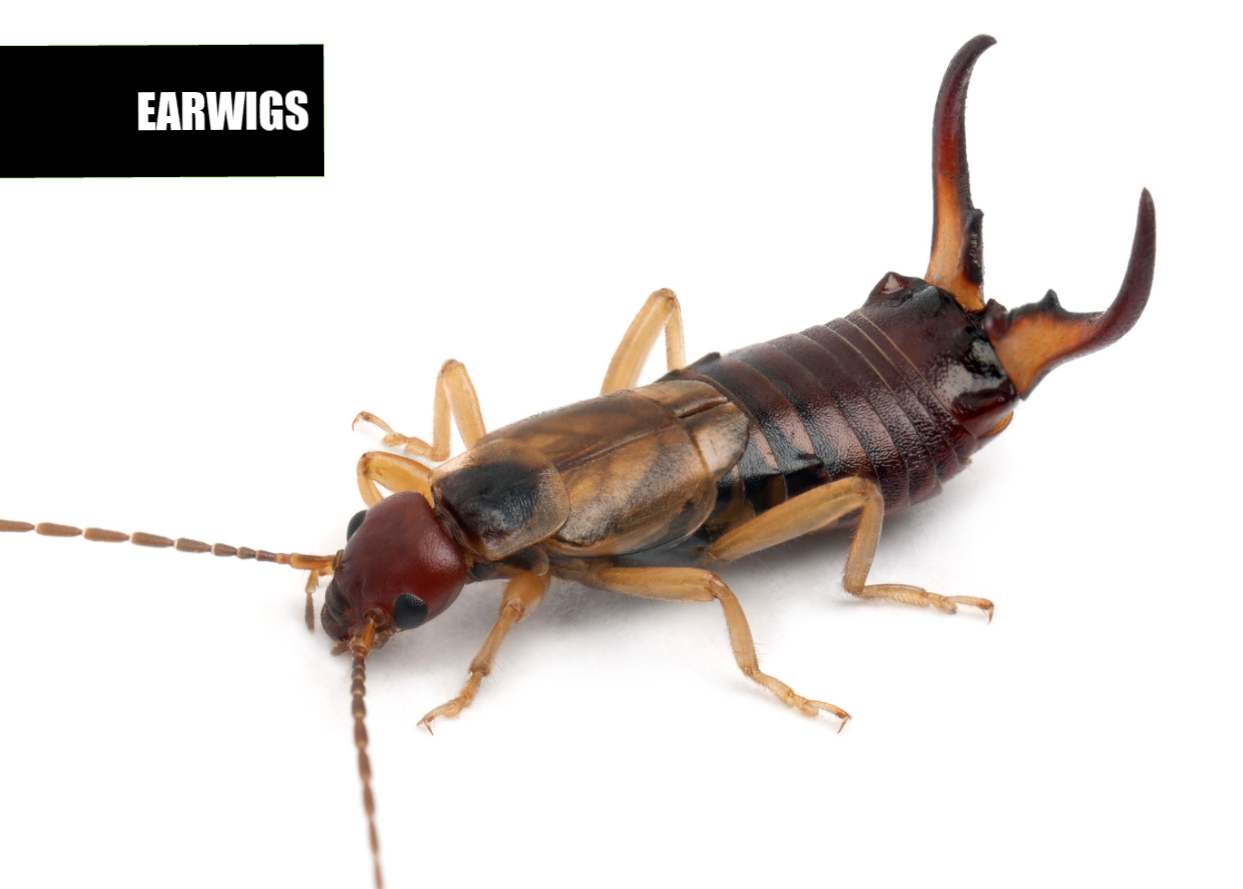 How to get rid of earwigs | Ace Pest Protection