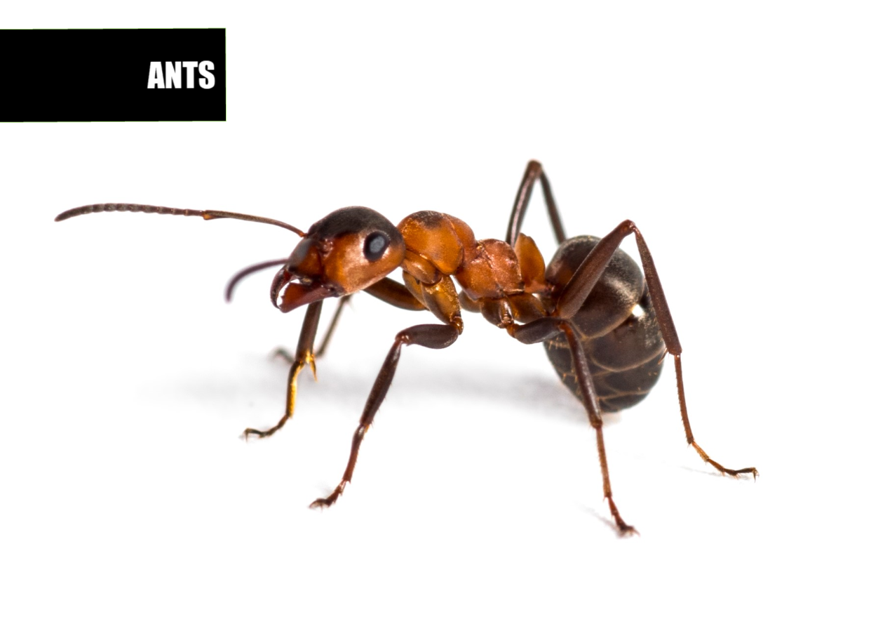 How to get rid of ants | Ace Pest Protection