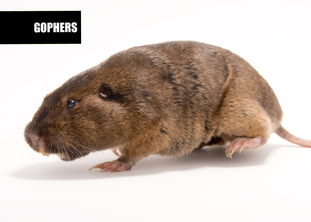 How to get rid of gophers | Ace Pest Protection