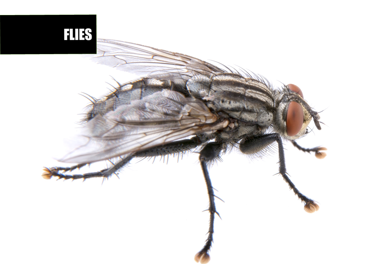 How to get rid of flies | Ace Pest Protection