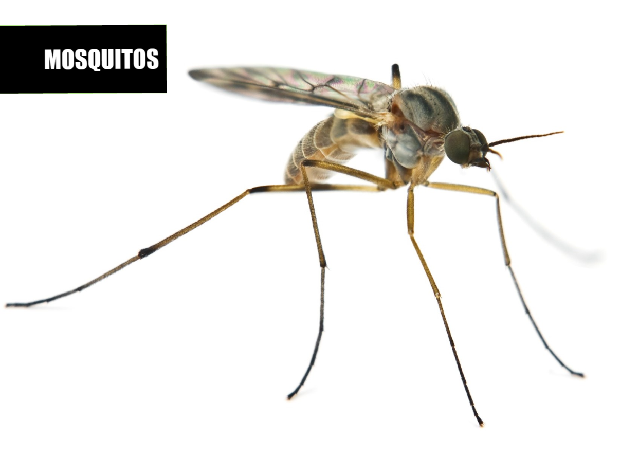 How to get rid of mosquitoes | Ace Pest Protection