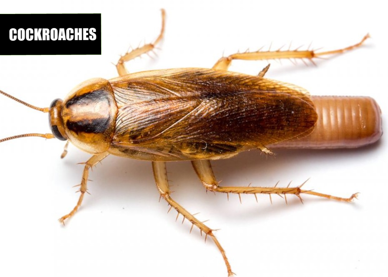 How to get rid of roaches | Ace Pest Protection